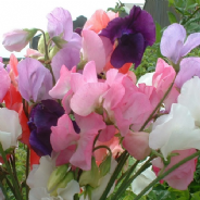 Sweet Pea - Mammoth Mixed - 230 seeds